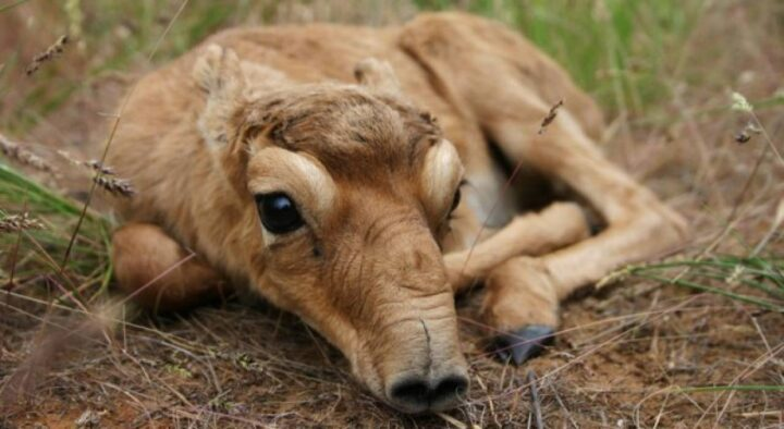 Experts are looking for the cause of the death of saiga in WKO