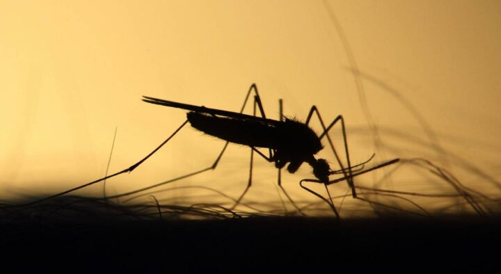 Mosquitoes attacked Semey